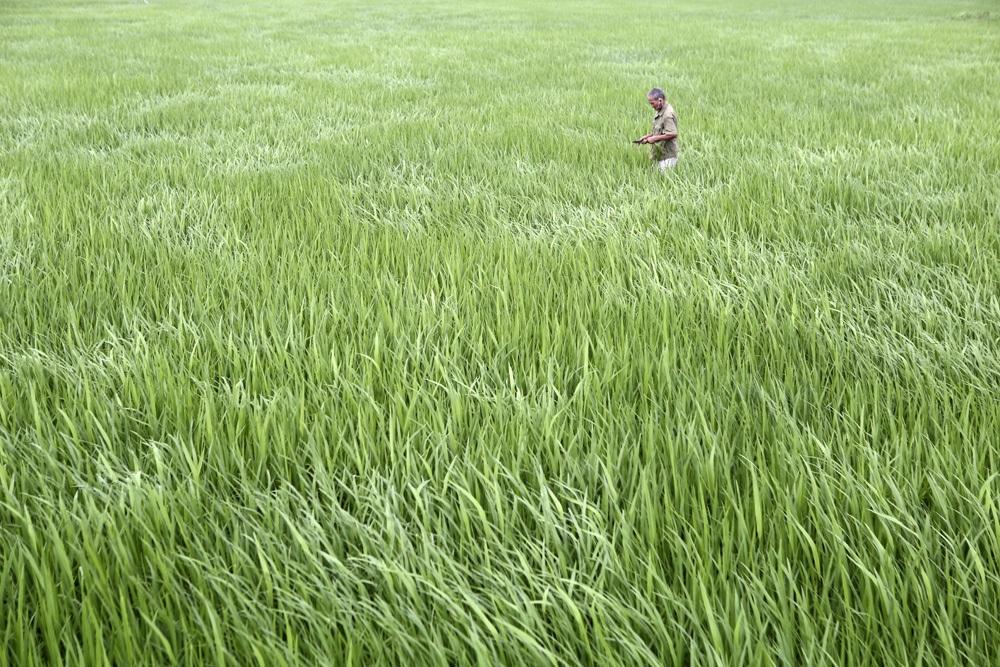 Bức tranh đồng quê xanh ngắt ở ngoại thành Hà Nội - 6