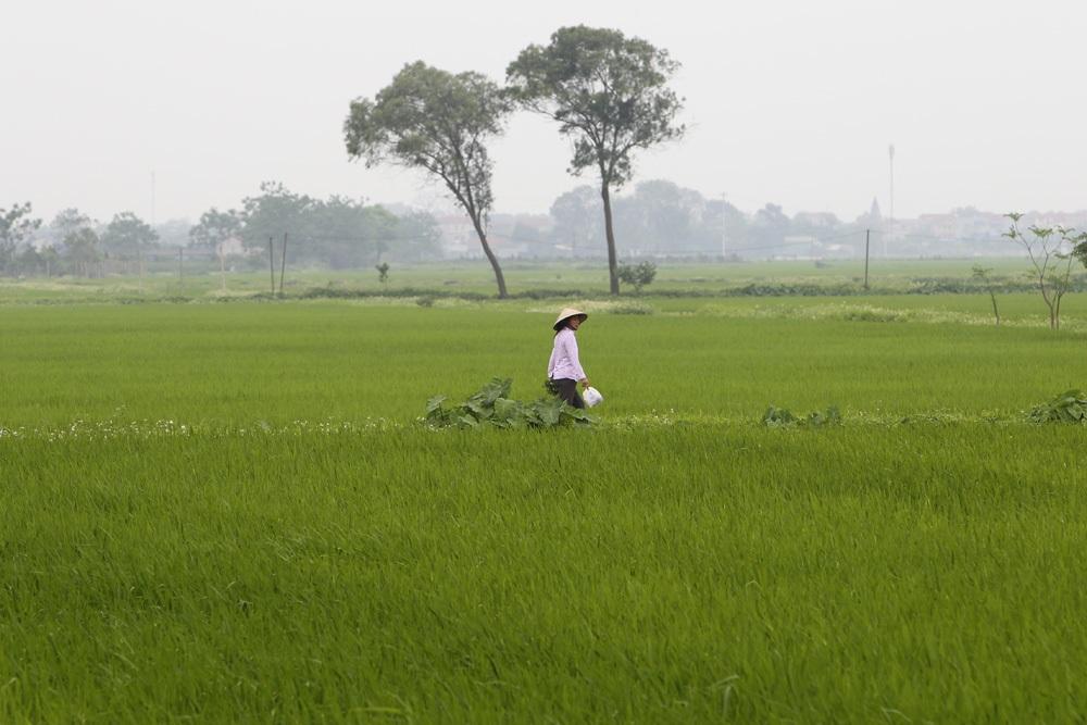 Bức tranh đồng quê xanh ngắt ở ngoại thành Hà Nội - 7