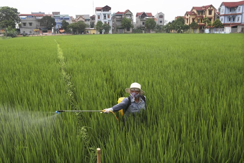 Bức tranh đồng quê xanh ngắt ở ngoại thành Hà Nội - 8
