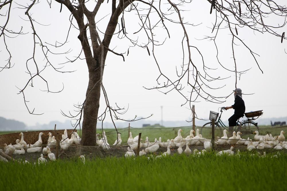 Bức tranh đồng quê xanh ngắt ở ngoại thành Hà Nội - 9
