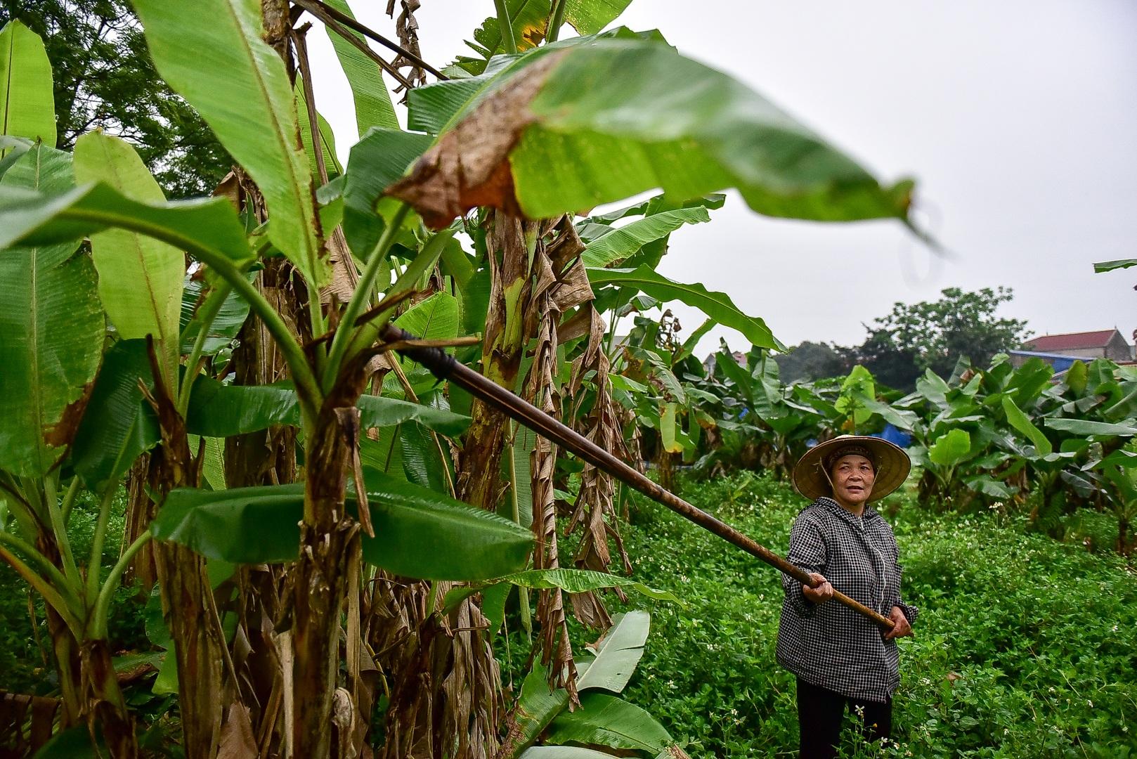 Gặp người phụ nữ hơn 35 năm hái lá chuối mưu sinh - 5