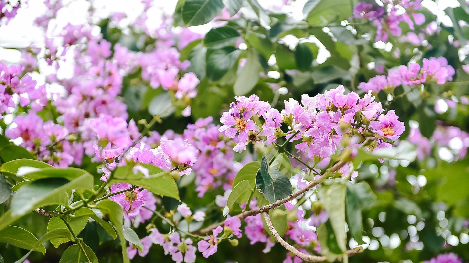 Hoa bằng lăng mộng mơ nhuộm tím đường phố Hà Nội - 8