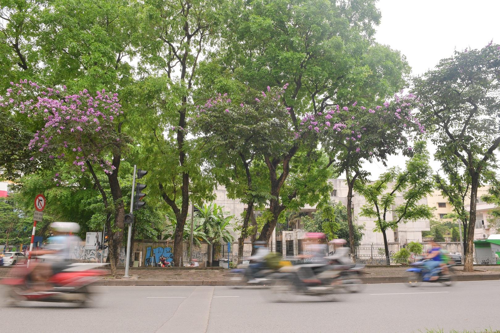 Hoa bằng lăng mộng mơ nhuộm tím đường phố Hà Nội - 6