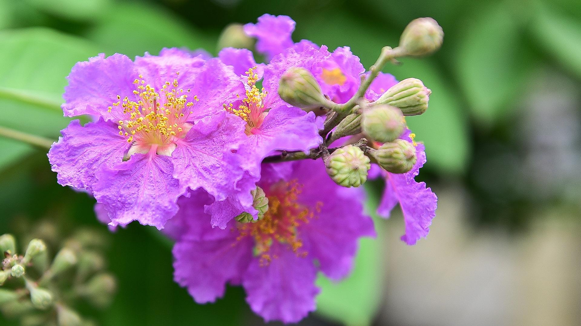 Hoa bằng lăng mộng mơ nhuộm tím đường phố Hà Nội - 5