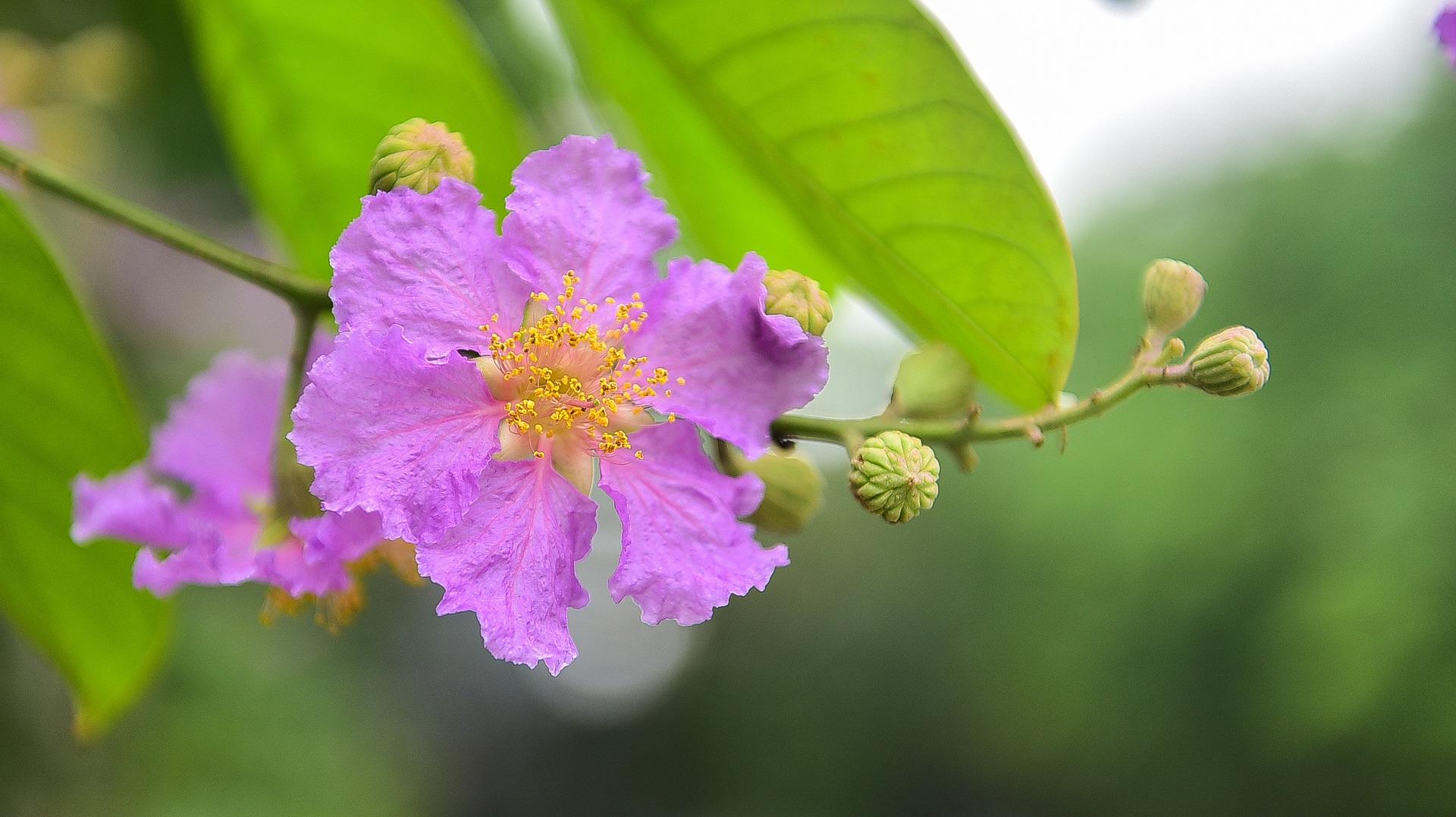 Hoa bằng lăng mộng mơ nhuộm tím đường phố Hà Nội - 15