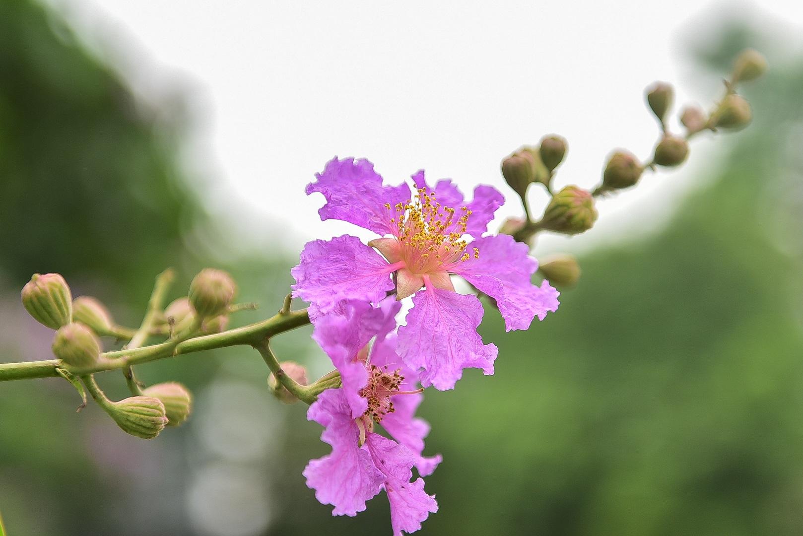 Hoa bằng lăng mộng mơ nhuộm tím đường phố Hà Nội - 3
