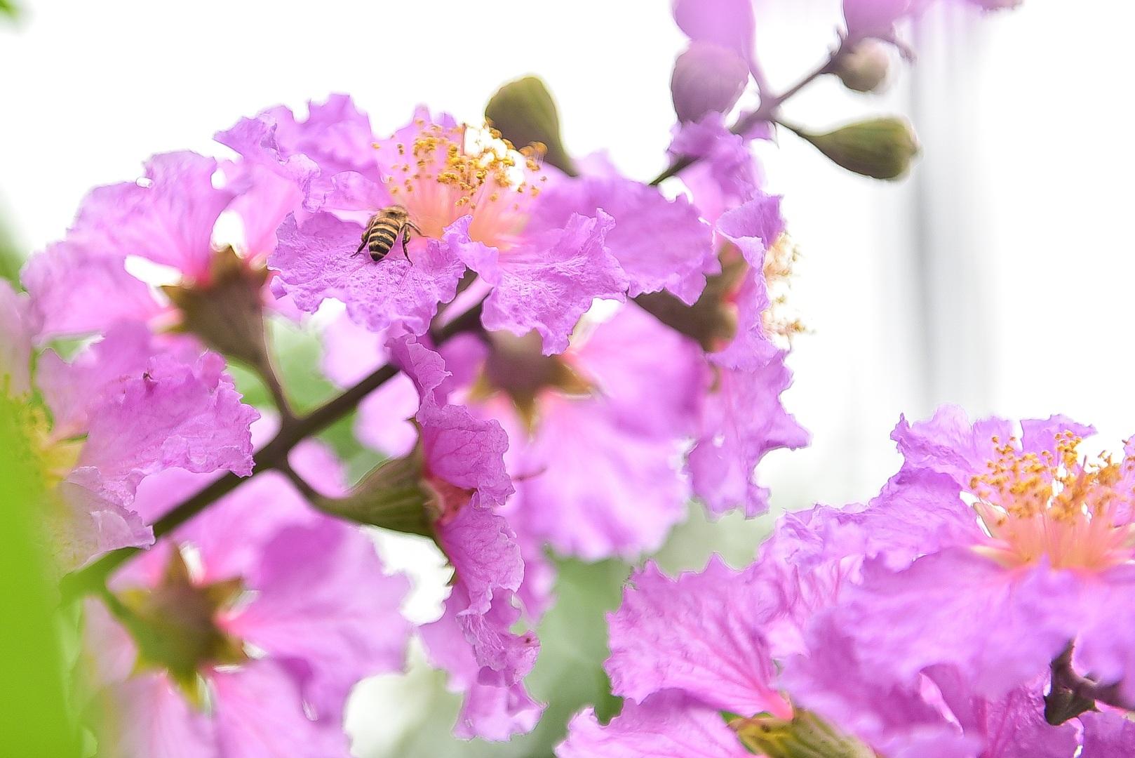 Hoa bằng lăng mộng mơ nhuộm tím đường phố Hà Nội - 11