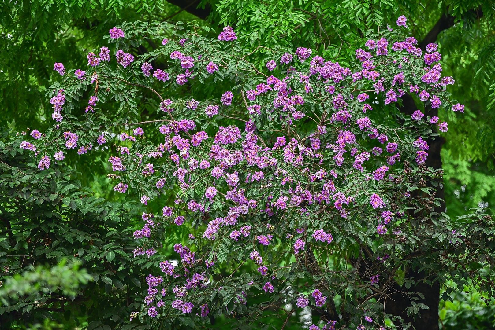 Hoa bằng lăng mộng mơ nhuộm tím đường phố Hà Nội - 7