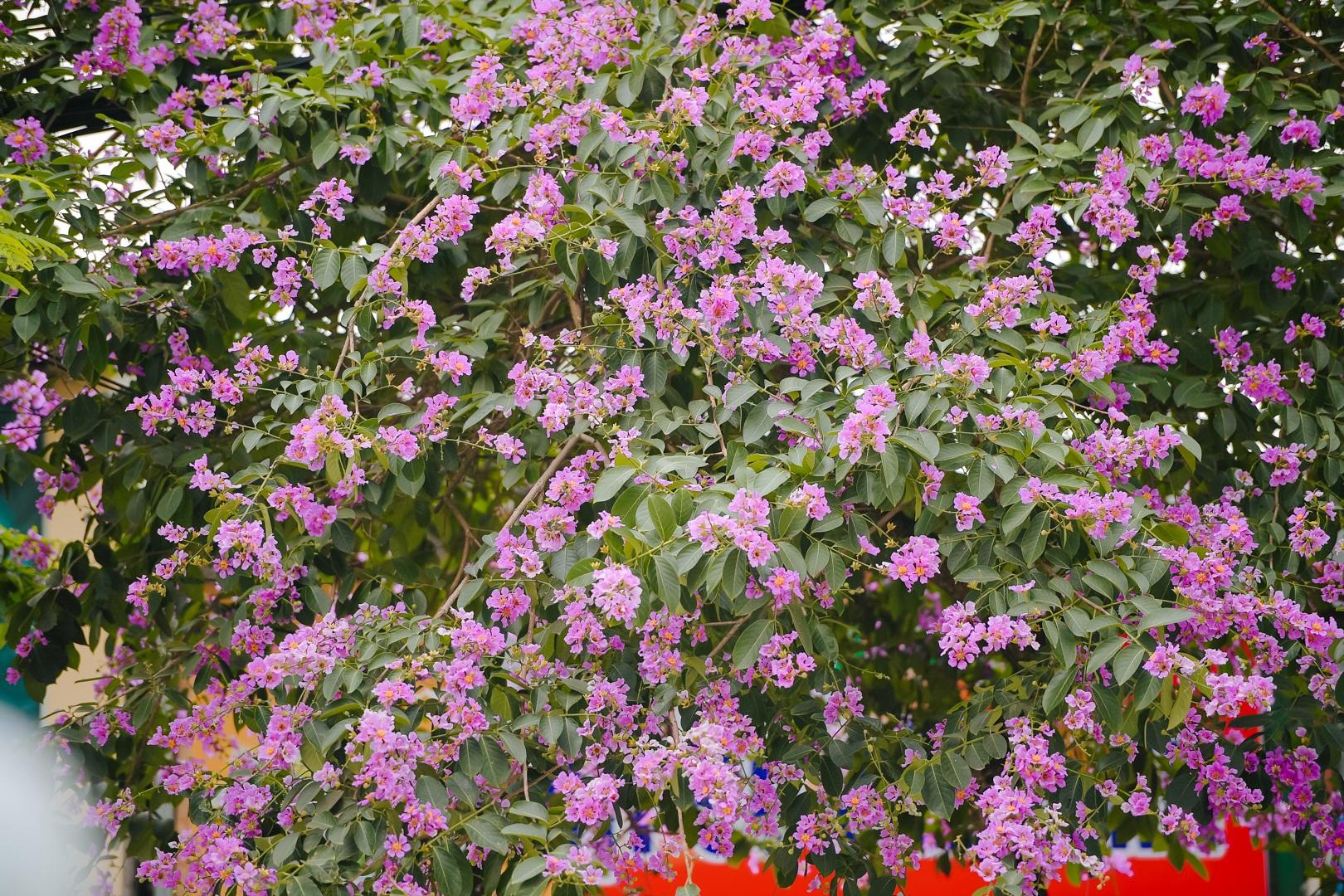 Hoa bằng lăng mộng mơ nhuộm tím đường phố Hà Nội - 10