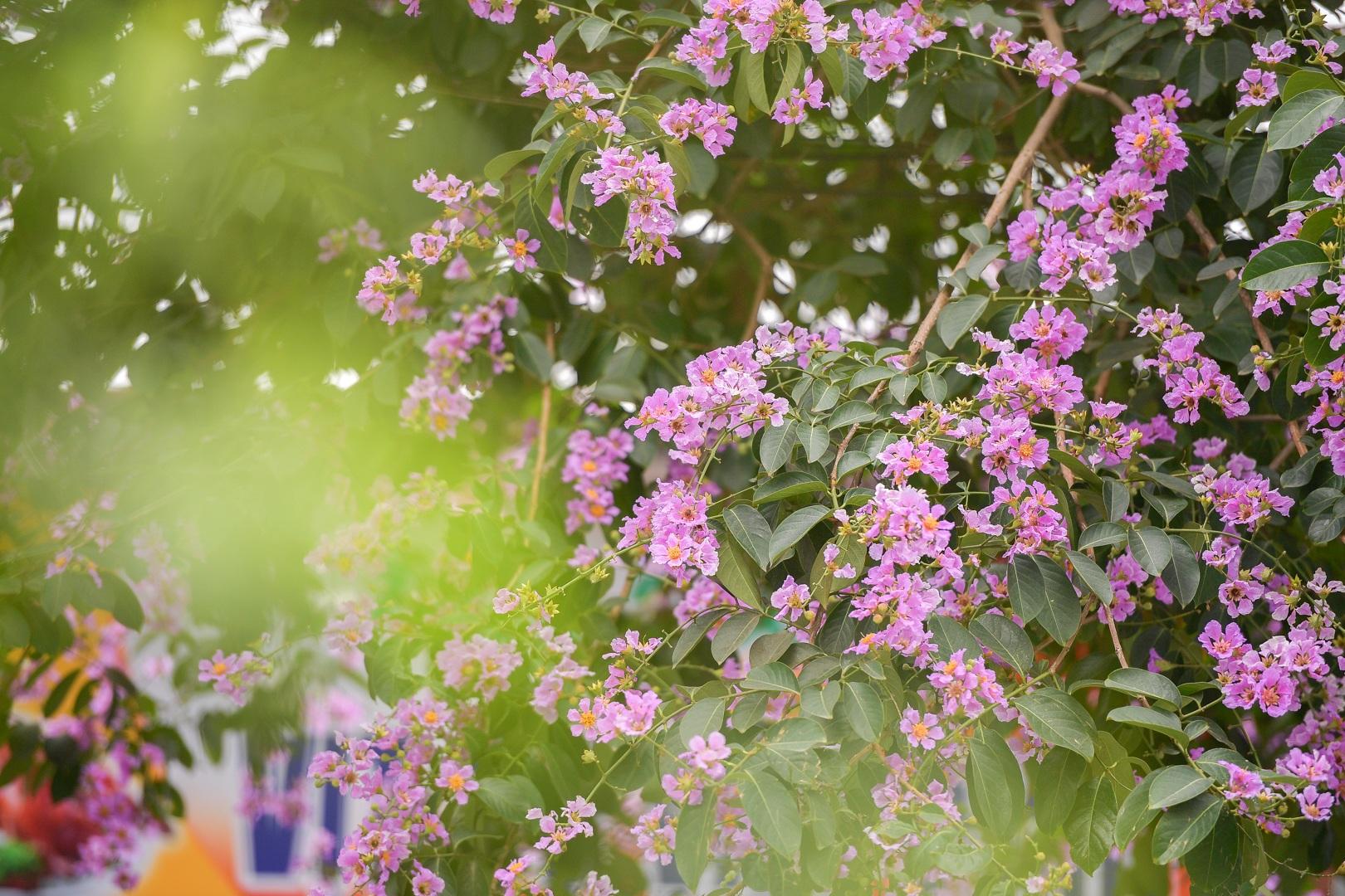 Hoa bằng lăng mộng mơ nhuộm tím đường phố Hà Nội - 2