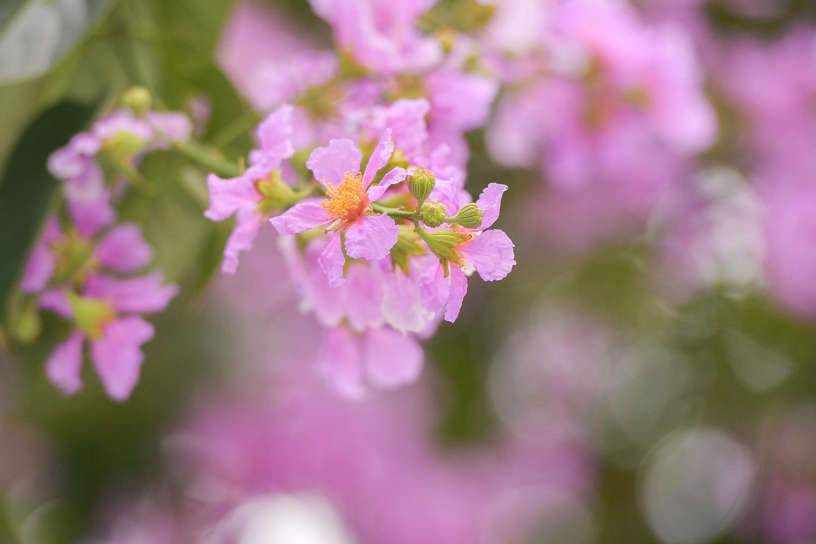 Hoa bằng lăng mộng mơ nhuộm tím đường phố Hà Nội - 9