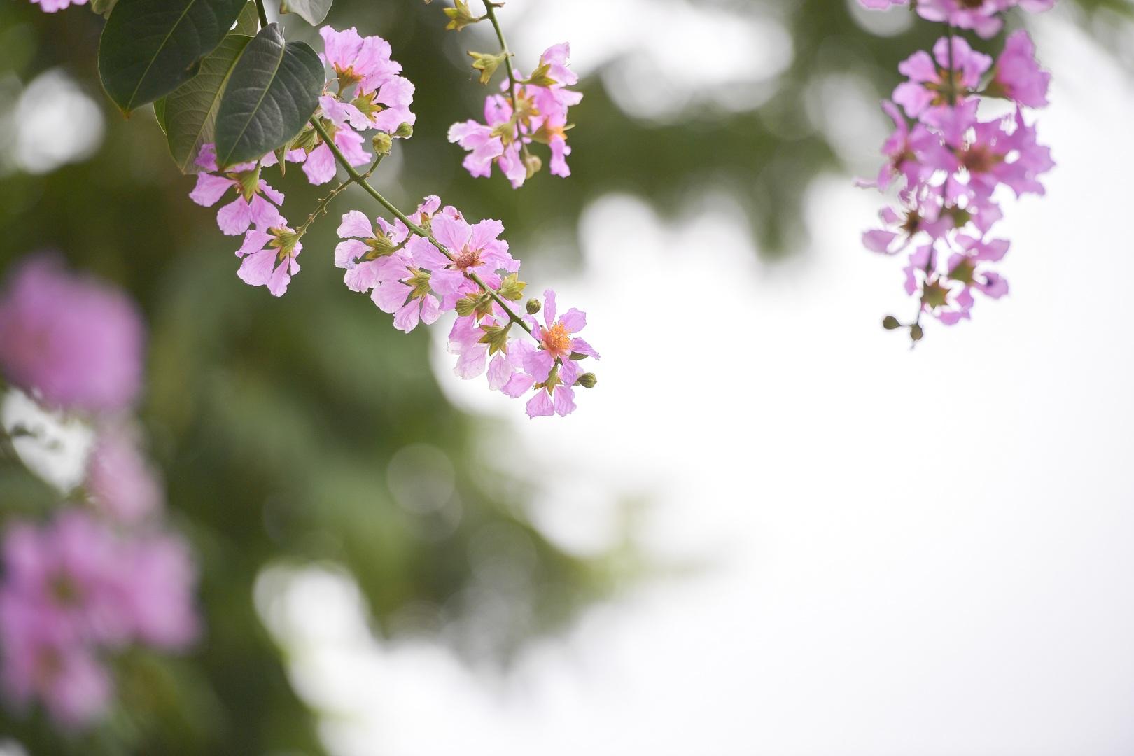Hoa bằng lăng mộng mơ nhuộm tím đường phố Hà Nội - 12