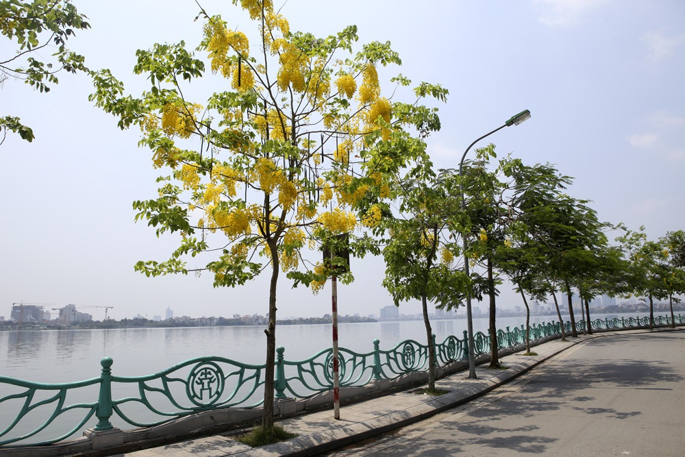 Muồng hoàng yến nở vàng rực đường phố Hà Nội - 1