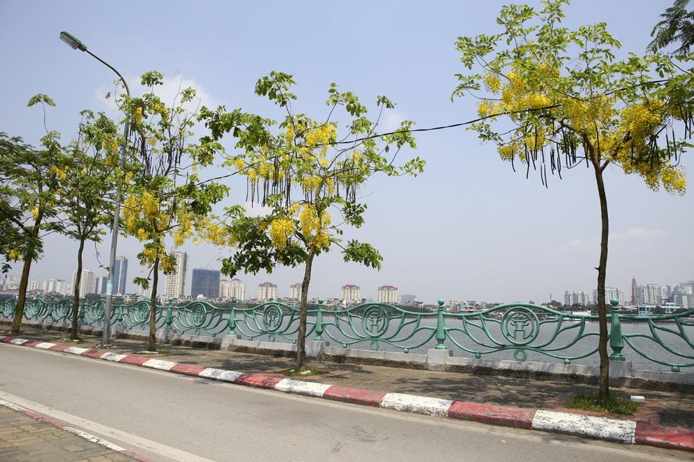 Muồng hoàng yến nở vàng rực đường phố Hà Nội - 12