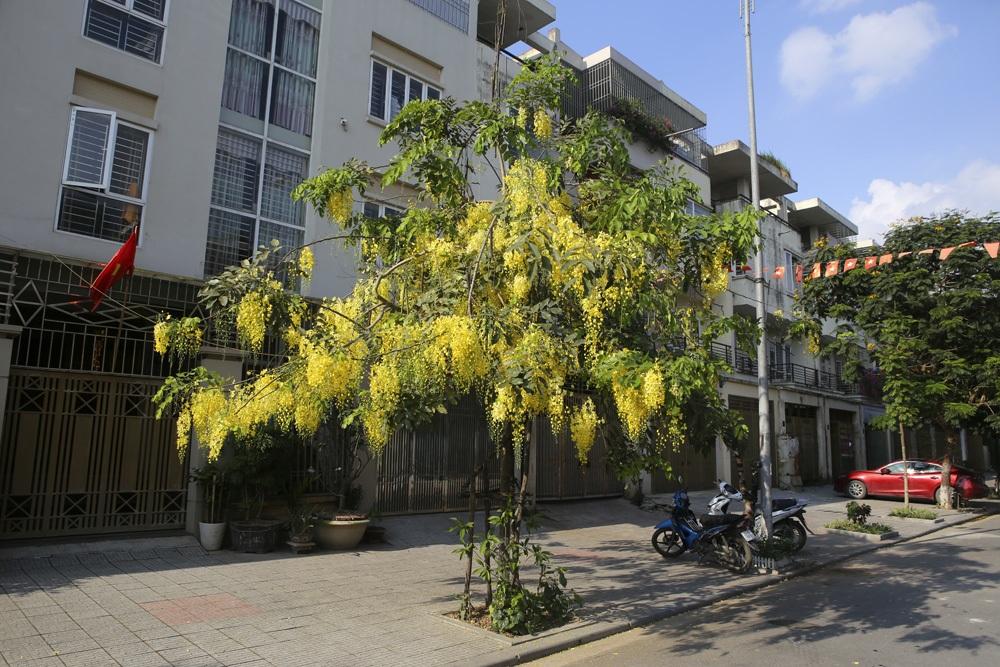 Muồng hoàng yến nở vàng rực đường phố Hà Nội - 4