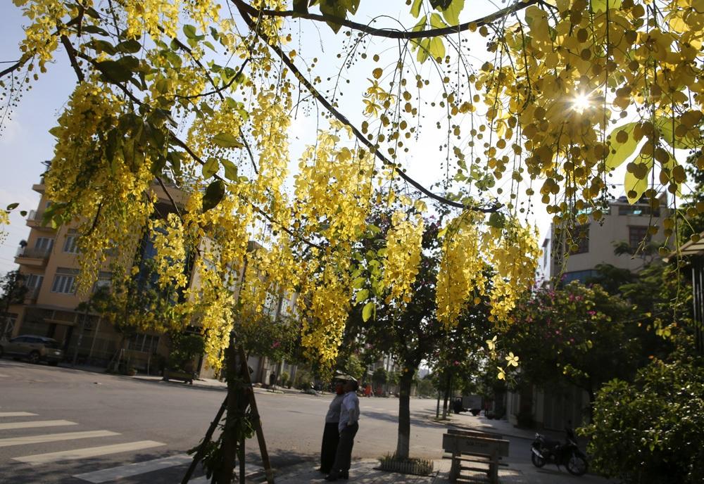 Muồng hoàng yến nở vàng rực đường phố Hà Nội - 5