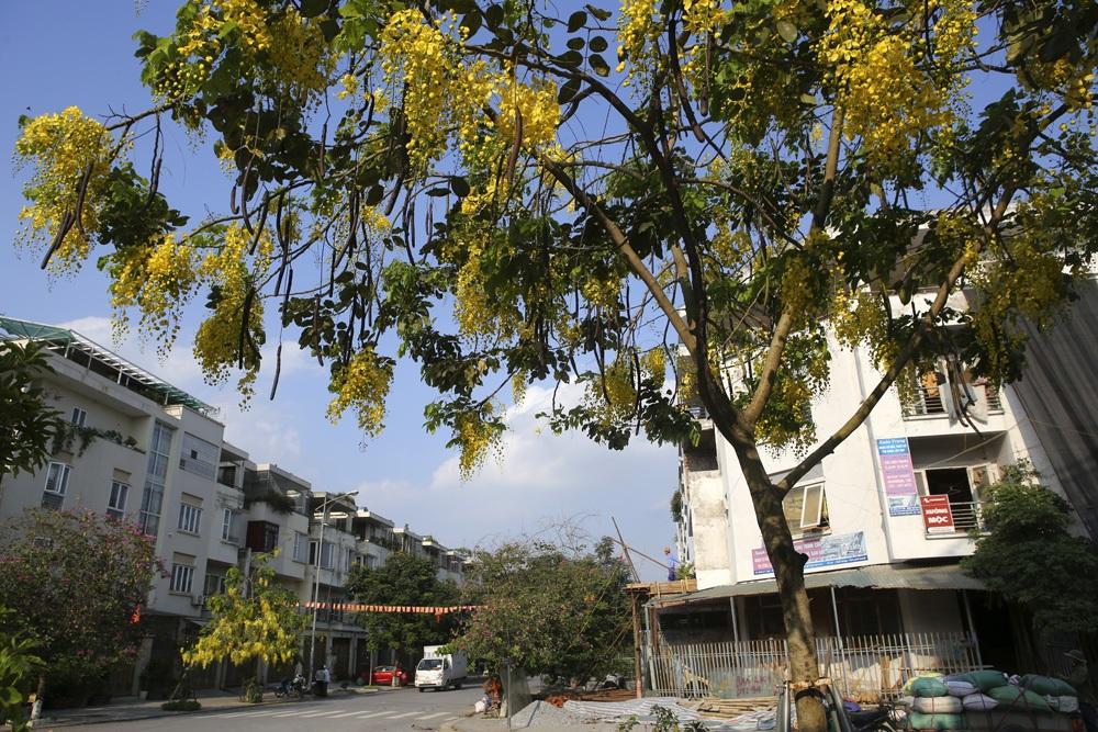 Muồng hoàng yến nở vàng rực đường phố Hà Nội - 6