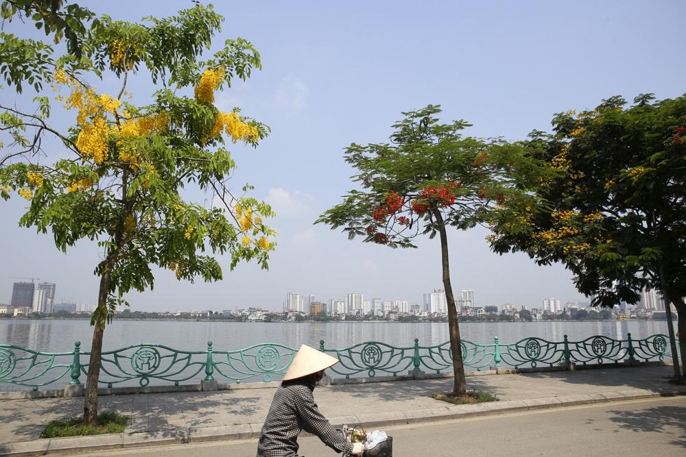 Muồng hoàng yến nở vàng rực đường phố Hà Nội - 8