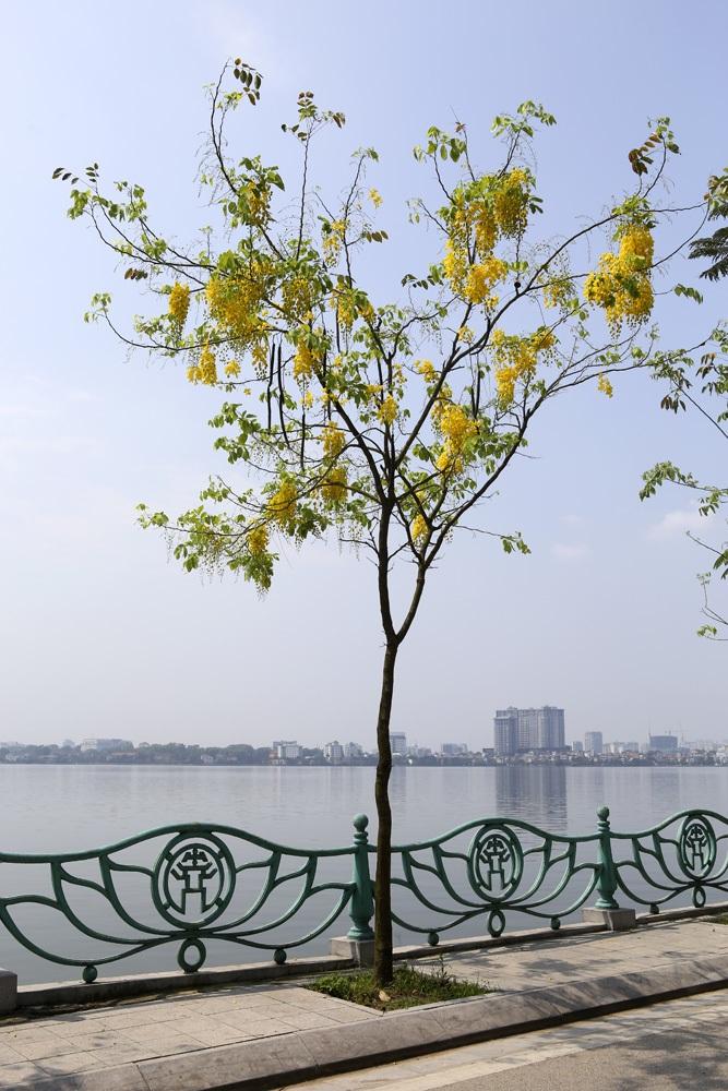 Muồng hoàng yến nở vàng rực đường phố Hà Nội - 9