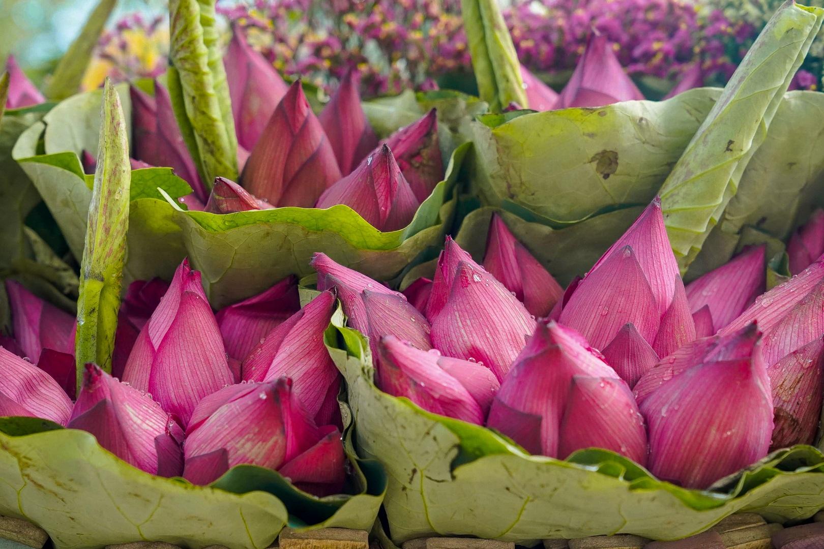 Nhẹ nhàng hương sắc hoa sen đầu mùa - 4
