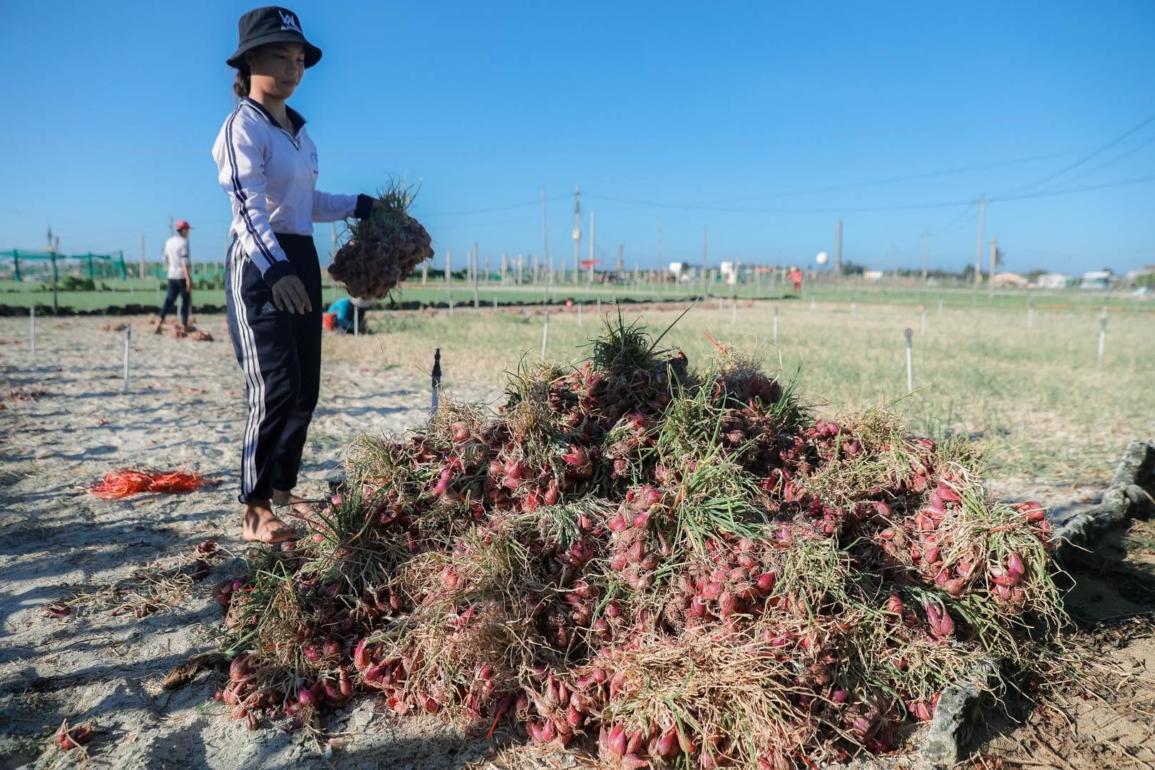 Ngọc tím Lý Sơn vào vụ: Giá cao gấp đôi, nông dân khấp khởi vui mừng - 11