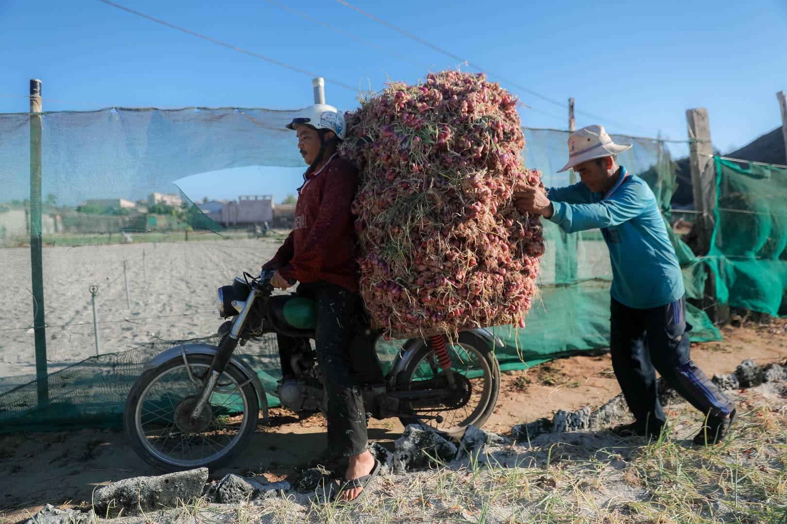 Ngọc tím Lý Sơn vào vụ: Giá cao gấp đôi, nông dân khấp khởi vui mừng - 13
