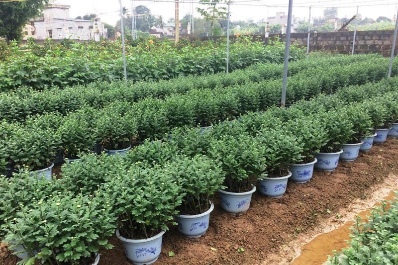 """Thanh Hoá: Người trồng hoa Tết """"nín thở"""" vì thời tiết thất thường - Ảnh 7."""