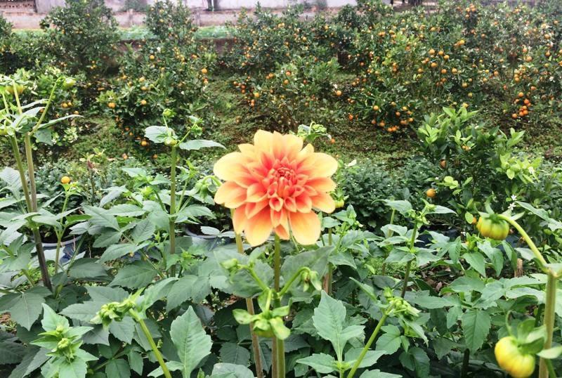 """Thanh Hoá: Người trồng hoa Tết """"nín thở"""" vì thời tiết thất thường - Ảnh 8."""