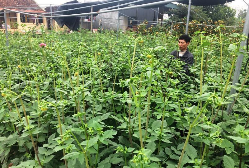 """Thanh Hoá: Người trồng hoa Tết """"nín thở"""" vì thời tiết thất thường - Ảnh 6."""