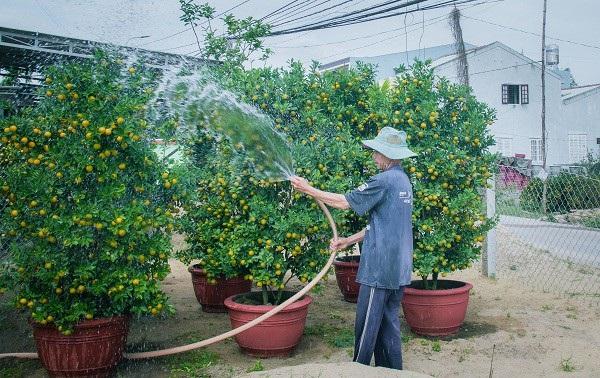 Người trồng quất kiểng Hội An sẵn sàng cho Tết Nguyên đán - Ảnh 2.