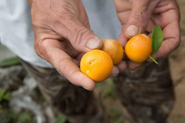 Người trồng quất kiểng Hội An sẵn sàng cho Tết Nguyên đán - Ảnh 12.