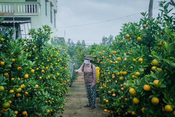 Người trồng quất kiểng Hội An sẵn sàng cho Tết Nguyên đán - Ảnh 3.