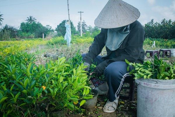 Người trồng quất kiểng Hội An sẵn sàng cho Tết Nguyên đán - Ảnh 5.