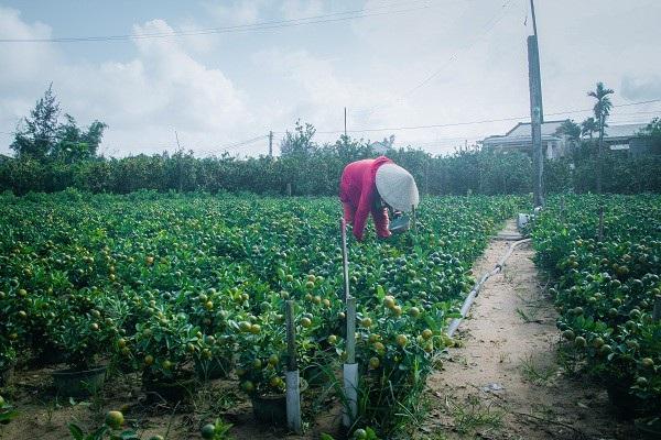 Người trồng quất kiểng Hội An sẵn sàng cho Tết Nguyên đán - Ảnh 7.
