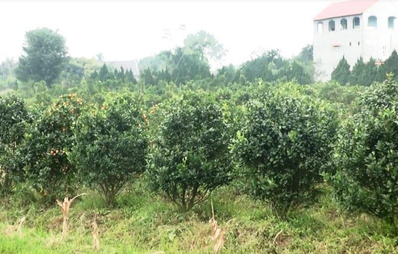 """Thanh Hoá: Người trồng hoa Tết """"nín thở"""" vì thời tiết thất thường - Ảnh 3."""