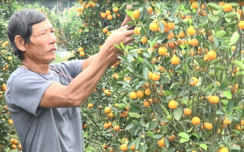 """Thanh Hoá: Người trồng hoa Tết """"nín thở"""" vì thời tiết thất thường - Ảnh 4."""