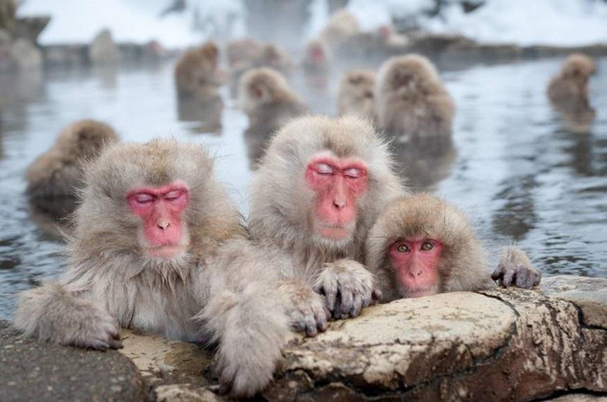 Bầy khỉ tuyết đu dây điện để tránh lạnh chân gây sốt - Ảnh 3.