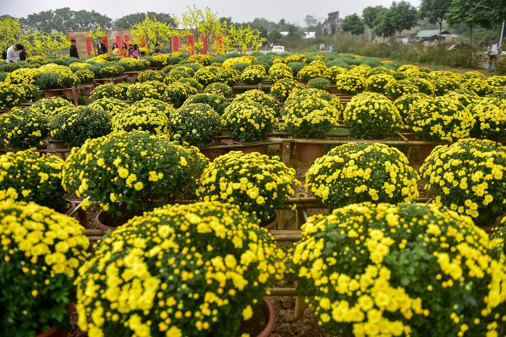 Phát sốt với vườn hoa cúc mâm xôi tuyệt đẹp ngay giữa Thủ đô - Ảnh 10.