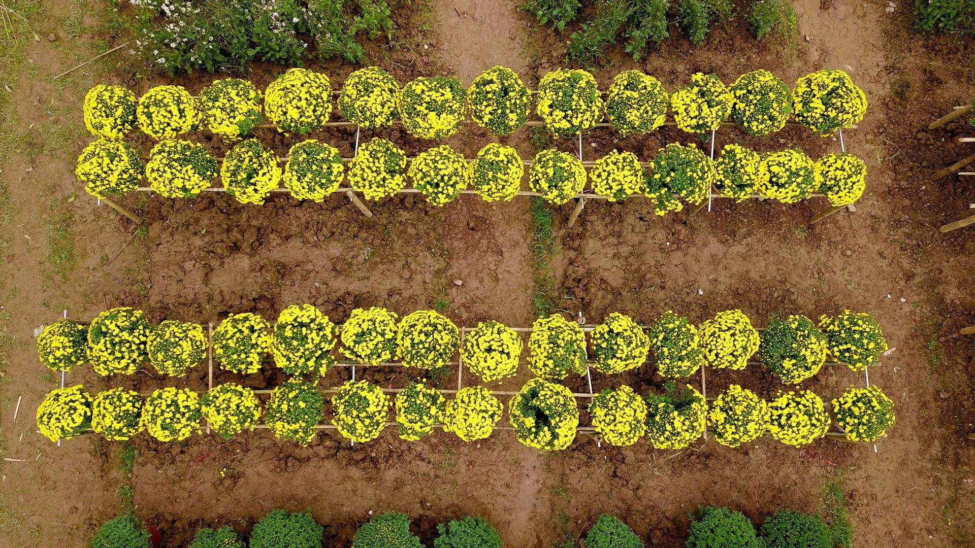 Phát sốt với vườn hoa cúc mâm xôi tuyệt đẹp ngay giữa Thủ đô - Ảnh 12.