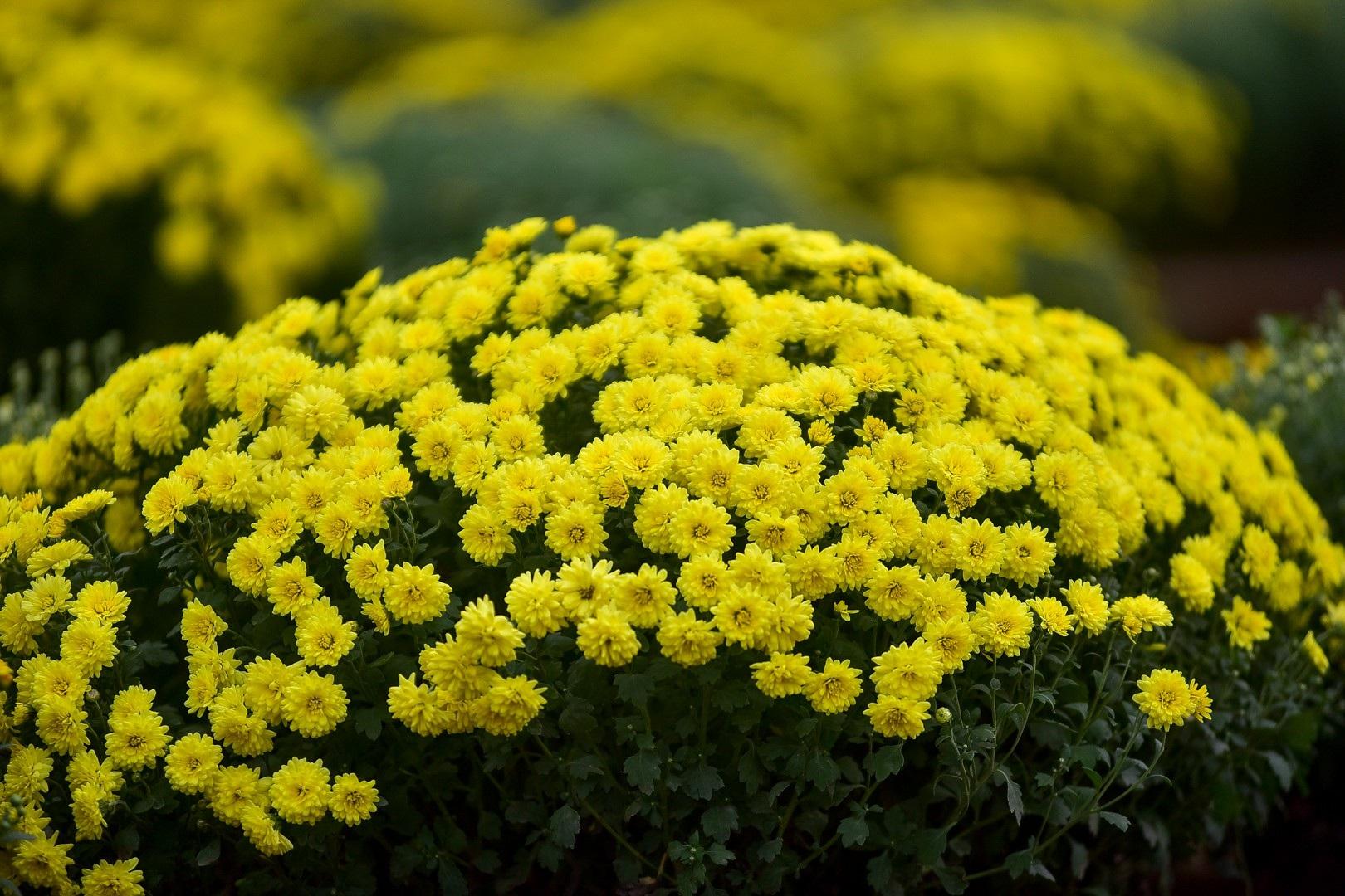 Phát sốt với vườn hoa cúc mâm xôi tuyệt đẹp ngay giữa Thủ đô - Ảnh 9.