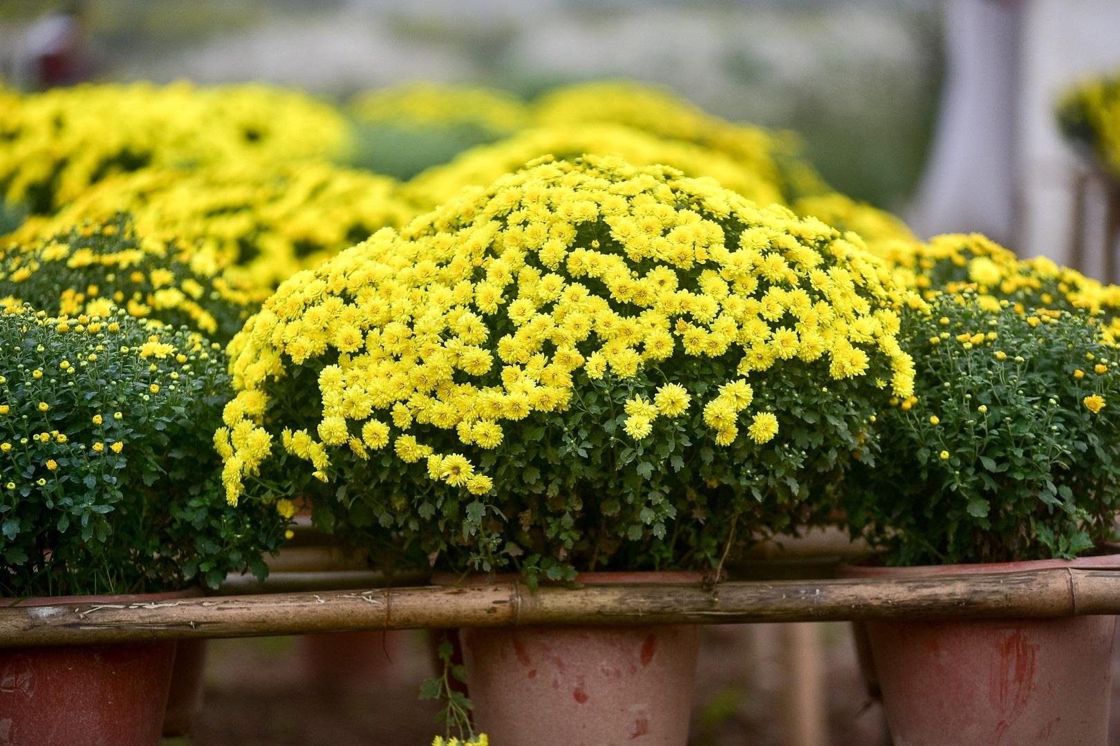Phát sốt với vườn hoa cúc mâm xôi tuyệt đẹp ngay giữa Thủ đô - Ảnh 3.