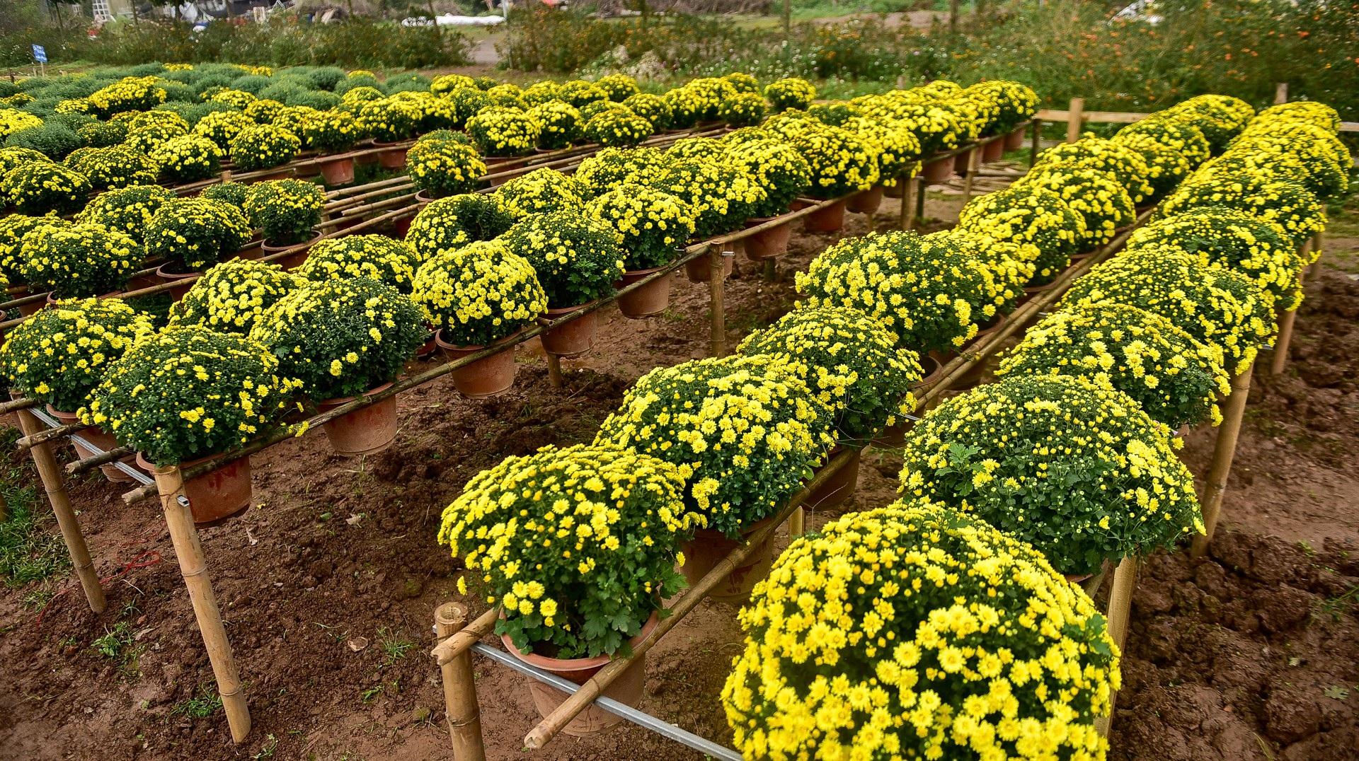 Phát sốt với vườn hoa cúc mâm xôi tuyệt đẹp ngay giữa Thủ đô - Ảnh 2.