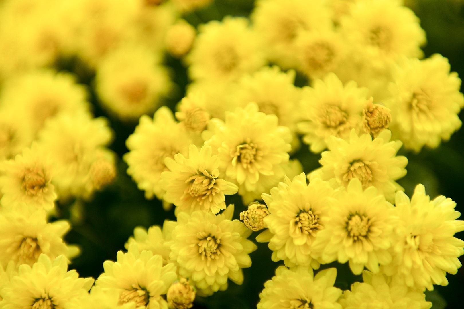 Phát sốt với vườn hoa cúc mâm xôi tuyệt đẹp ngay giữa Thủ đô - Ảnh 7.