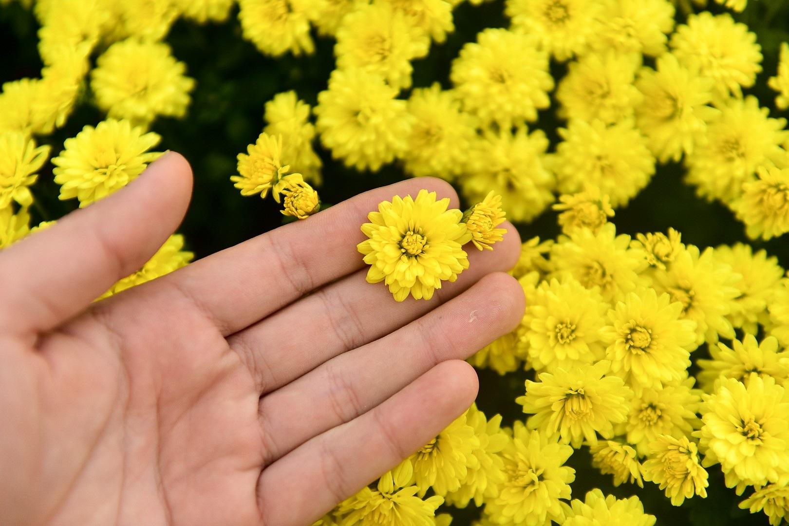 Phát sốt với vườn hoa cúc mâm xôi tuyệt đẹp ngay giữa Thủ đô - Ảnh 4.