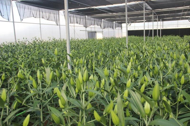 Hàng ngàn gốc hoa Lily giống nhập ngoại sẵn sàng phục vụ người dân chơi Tết - Ảnh 4.