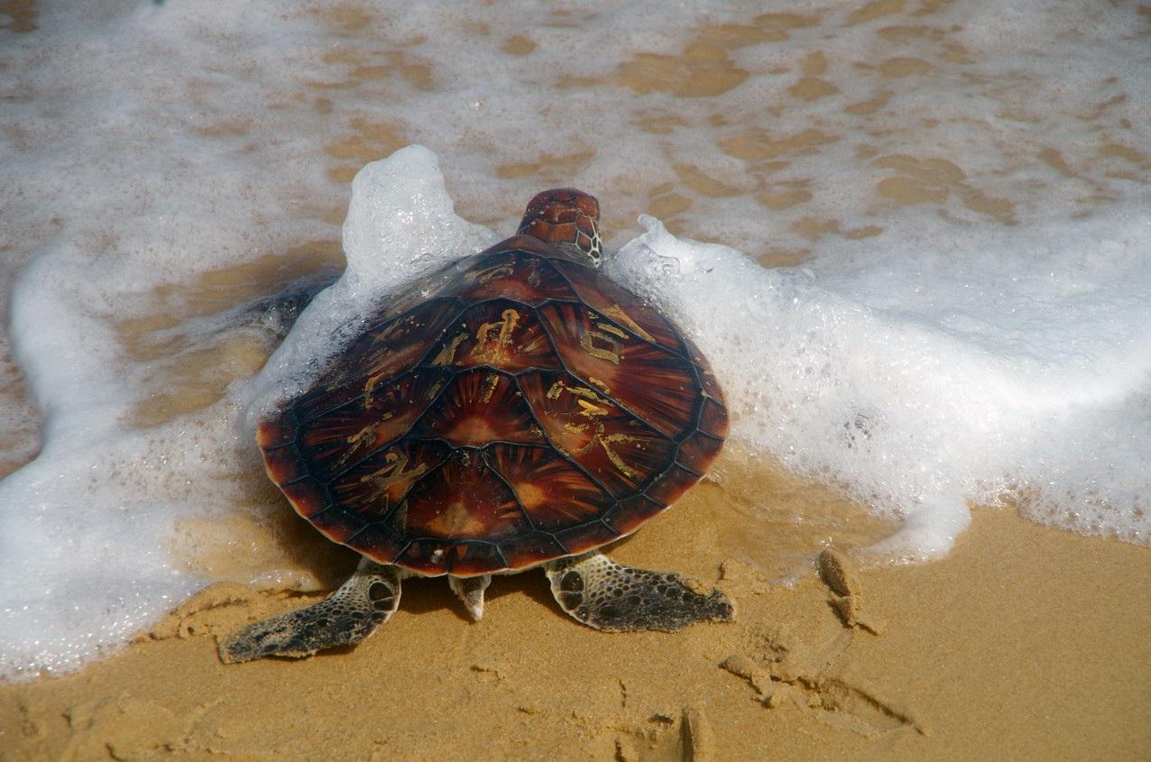 Thả một cá thể rùa biển quý hiếm về môi trường tự nhiên - Ảnh 2.