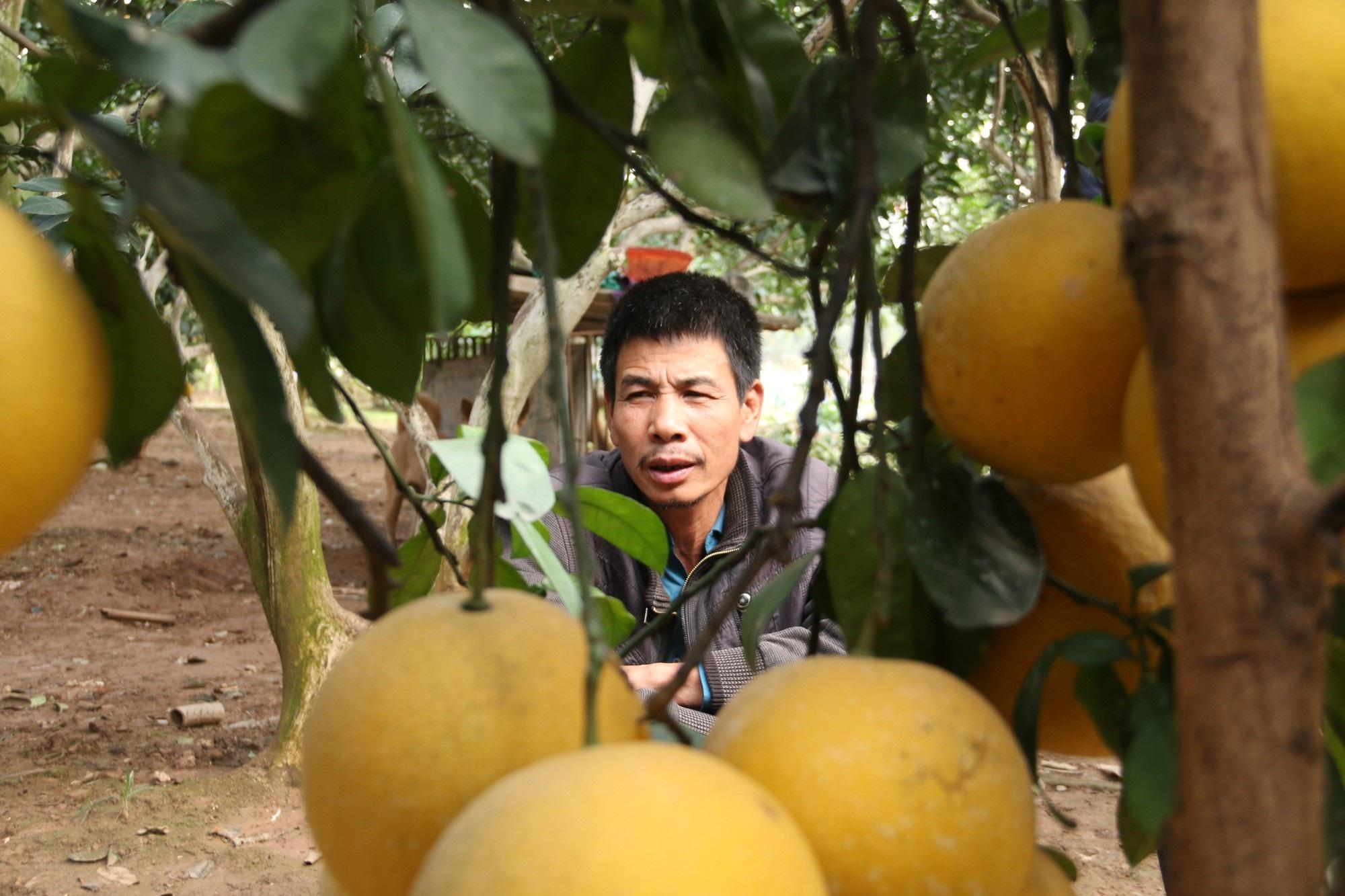 """Đệ nhất bưởi Hà Nội: """"Cháy hàng"""" trước Tết, người trồng bưởi rủng rỉnh tiền tiêu - Ảnh 11."""