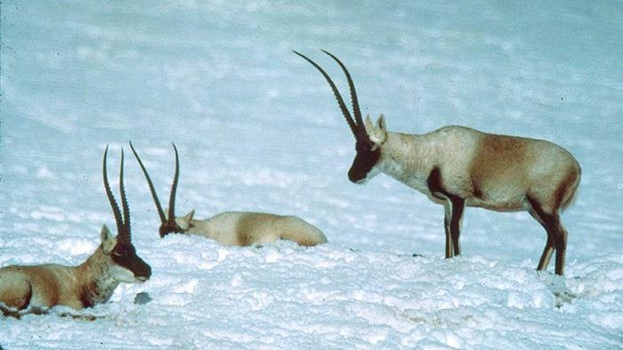 """Đàn linh dương như """"nhảy múa ba lê"""" trên mặt hồ đóng băng trơn trượt - Ảnh 3."""