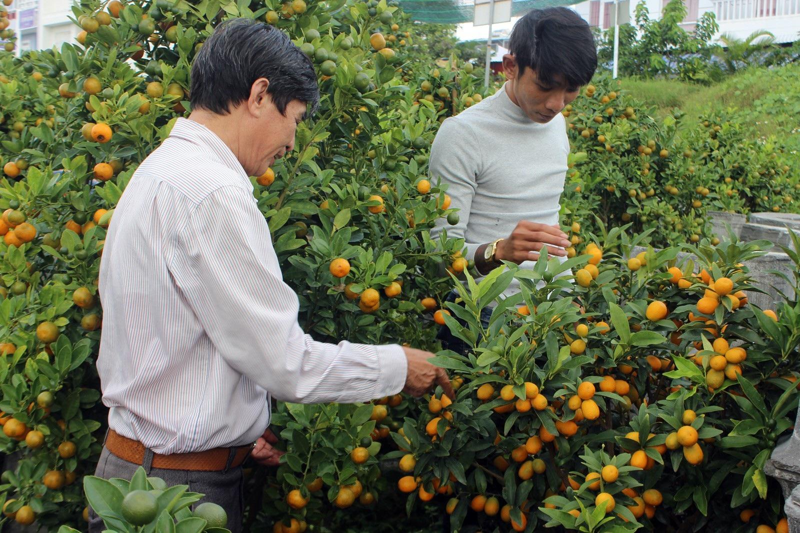 Giáp Tết: Về Phú Yên ngắm vườn quất vàng óng thu tiền triệu - Ảnh 8.