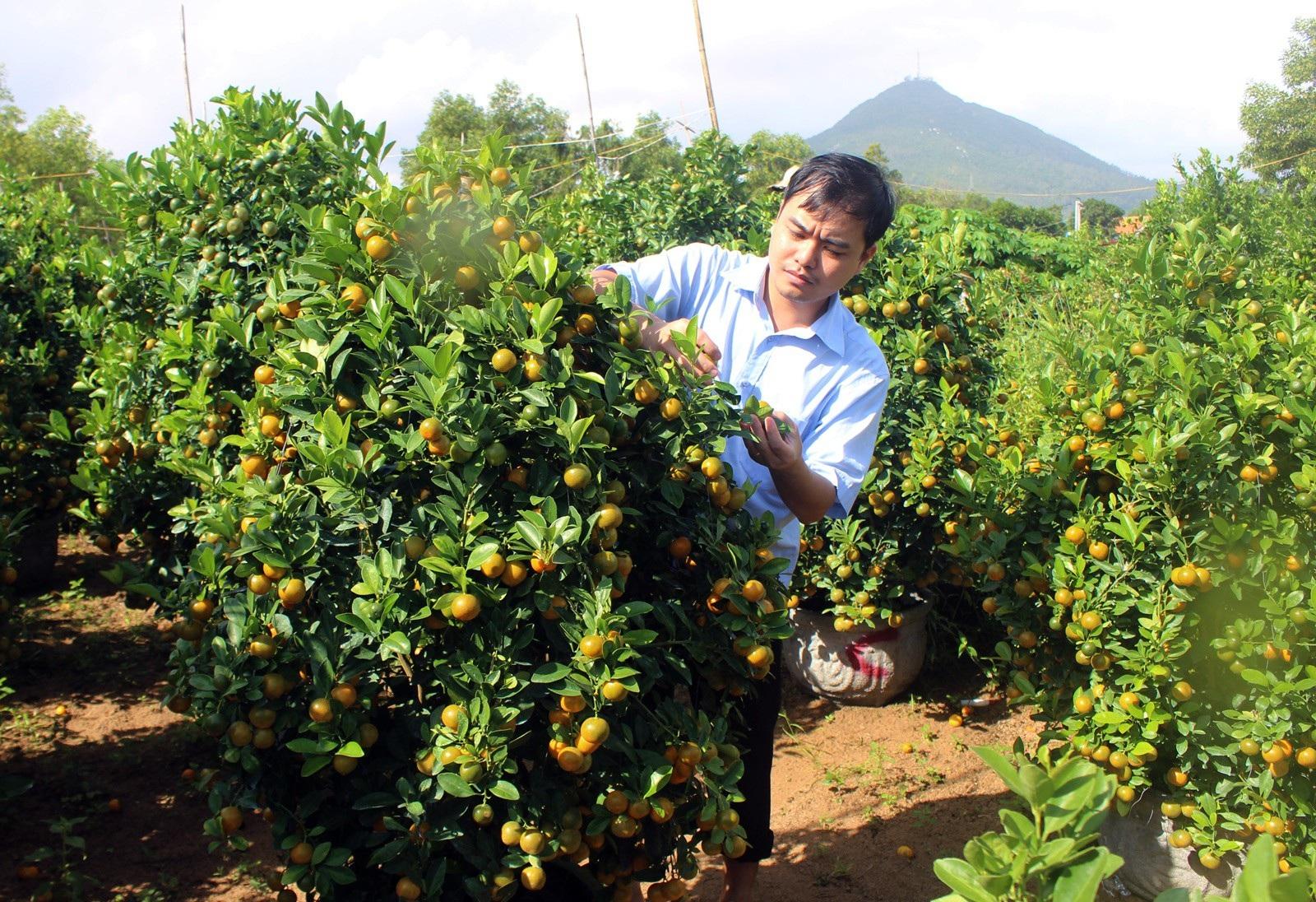 Giáp Tết: Về Phú Yên ngắm vườn quất vàng óng thu tiền triệu - Ảnh 7.